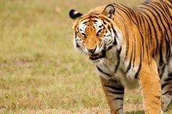 Tiger Eating Royalty Free Stock Photos