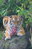 Tiger eating Royalty Free Stock Photo