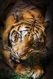 Tiger eating bamboo leaves Royalty Free Stock Images