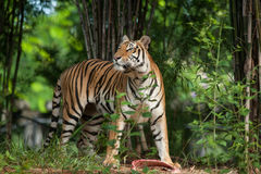Tiger eating a chunk of meat Stock Images