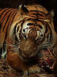 Tiger eating meat Stock Photo