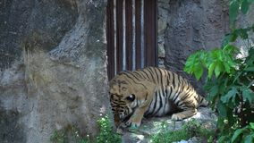Tiger eating meat in the zoo ,lying in the nature habitat, The big cat beautiful animal and very dangerous. 4k video footage stock video footage