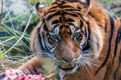 Tiger eating meat in the zoo Royalty Free Stock Photos