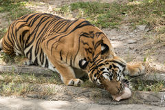 Tiger eating a victim in the morning royalty free stock photography