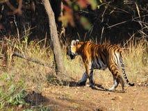 Tiger an einem markierten Baum Lizenzfreies Stockfoto