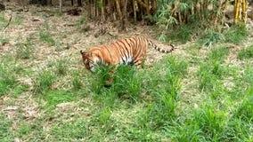 Tiger in einem Zoo stockfotografie