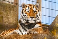 Tiger in einem Zoo Lizenzfreies Stockfoto