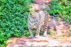 Tiger in einem Zoo Lizenzfreie Stockfotografie