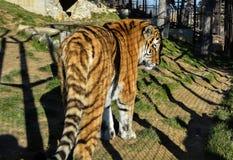 Tiger in einem Zoo Lizenzfreie Stockfotos