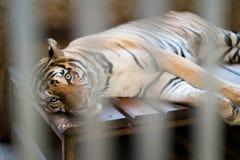 Tiger in einem Zookäfig Stockbild