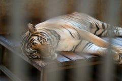 Tiger in einem Zookäfig Stockfotos