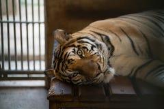 Tiger in einem Zookäfig Lizenzfreies Stockbild