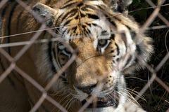 Tiger eingesperrt lizenzfreie stockfotografie
