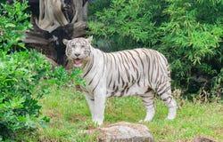 Tiger eller tiger Laipadklan Royaltyfria Foton