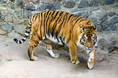 Tiger in the enclosure zoo Royalty Free Stock Photos