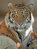 Tiger. Endangered Sumatran Tiger Sitting In Shade stock images