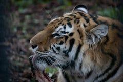 Tiger Enjoying ett ben Fotografering för Bildbyråer