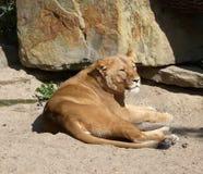 Tiger enjoying the sun Stock Photo