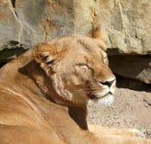 Tiger enjoying the sun Royalty Free Stock Images