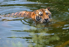 Tiger enjoys the water in hot weather Royalty Free Stock Photography