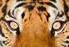 Tiger eye. Close up of tiger eye Royalty Free Stock Image