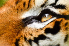 Tiger eye Stock Photography