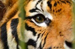 Tiger eye Stock Photo