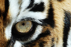Tiger eye. Close-up shot of tiger's eye Royalty Free Stock Image
