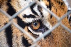 Tiger eye. Brown tiger eye thailand cage Royalty Free Stock Images
