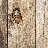 Tiger eye in wooden hole. Siberian tiger eye in wooden hole in concept of secretly dangerous Royalty Free Stock Photo