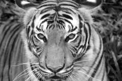 Tiger Eyes. Male Malayan Tiger staring into the camera Stock Photo