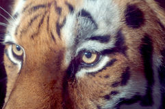 Tiger eyes. Close-up of the eyes of a Siberian Tiger in a zoo royalty free stock photography