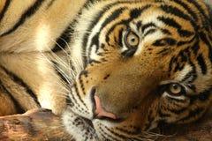 Tiger Eyes av Thailand arkivfoto