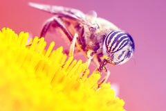 Tiger eyes small insect Royalty Free Stock Photography