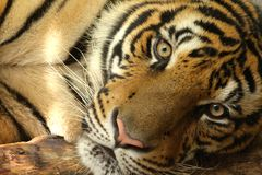 Tiger Eyes of Thailand. Tiger relaxing and looking at me in Chang Mai Thailand Stock Photo