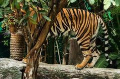 Tiger eyes Royalty Free Stock Photo