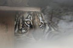tiger för öga s Royaltyfri Bild