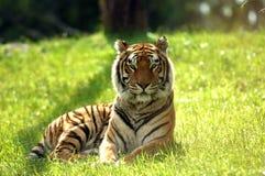 tiger för 01 stirranden Fotografering för Bildbyråer