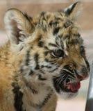tiger för 2 look s Royaltyfria Foton