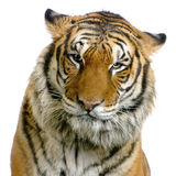 tiger för framsida s Arkivbild