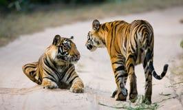 Tiger för två som Bengal ligger på vägen i djungeln india 17 2010 för india för elefant för bandhavgarhbandhavgarthområde umaria  Arkivbilder