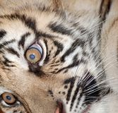 Tiger face Stock Photos