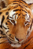 Tiger face. I am little sleepy after meal stock photos