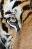 Tiger face. Close up of tiger's face Stock Photography