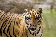 Tiger face Royalty Free Stock Image
