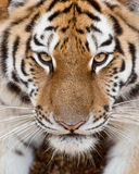 Tiger Face Stockbild