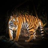 Tiger Face Immagini Stock