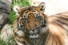 Tiger Face. Sumatran Tiger resting on ground with long grass royalty free stock image