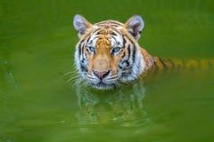 Tiger Face Fotografía de archivo