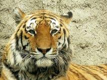 Tiger Face Foto de archivo libre de regalías